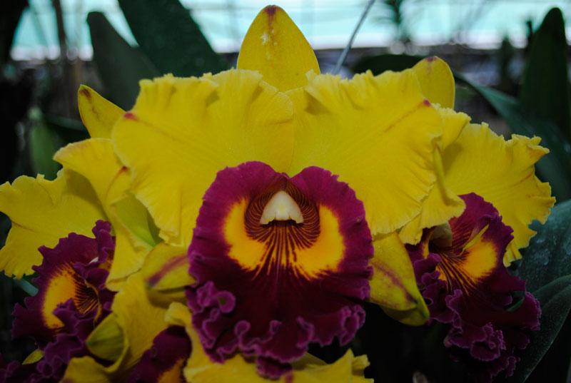 Image result for hoa lan cattleya